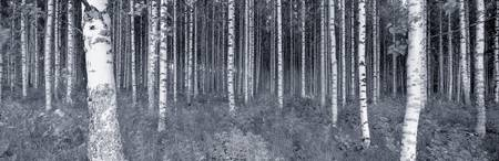 Birch trees in a forest