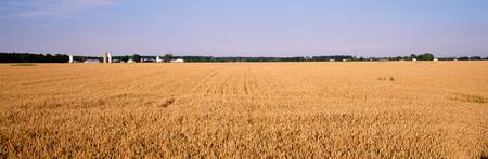 Wheat crops in a field