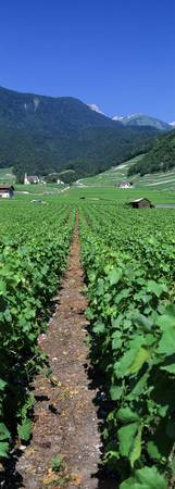 Path in a vineyard