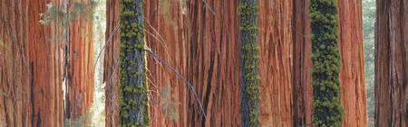 Giant Sequoia trees in a forest