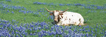 Texas Longhorn cow sitting on a field