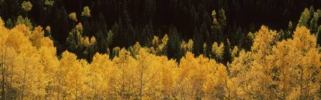 Aspen trees in a forest Telluride San Miguel Coun