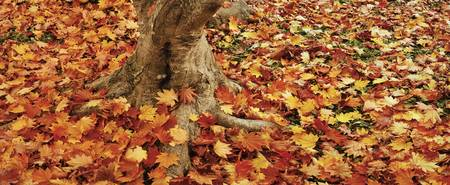 Autumnal leaves of a Maple tree scattered on the