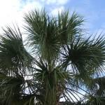 """Charleston Palm"" by samdgadii"