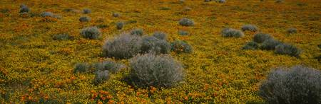 Sagebrush and Poppies in a field