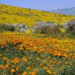 """Sagebrush and Poppies in a field"" by Panoramic_Images"
