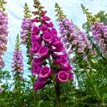 """Foxgloves!!!"" by hannahsview"