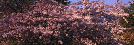 Close-up of a cherry tree