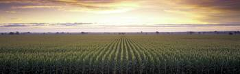 Sunrise Corn Field Sacramento CA