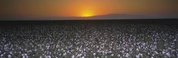 Cotton crops in a field
