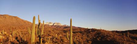 Cacti Four Peaks Mountains Tonto National Forest