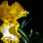 """""Yellow Iris"""" by AlexandraZloto"