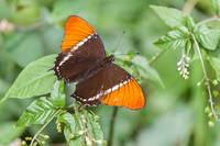 rusty tipped page butterfly