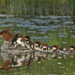 """Momma Merganser"" by tagauthier"