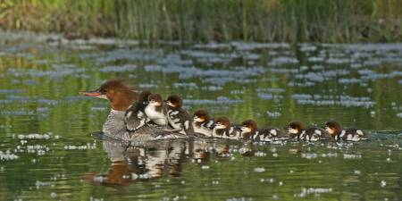 Momma Merganser