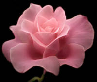 Lovely Pink Rose