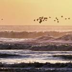 """Shore Birds Flight At Sunset"" by JBentley"