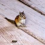 """Little Chipmunk"" by JoyfulLens"