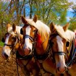 """Three horses break time"" by TomJelen"