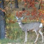 """Whitetail Deer"" by vpicks"