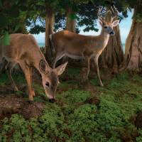 Key Deer Hideout Art Prints & Posters by Steve Hunziker