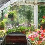 """Geraniums in Greenhouse"" by susansartgallery"