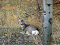 Whitetail Deer in The Forest