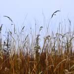 """Pullman grasses-no sig"" by RobinNellist"