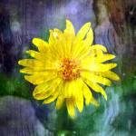 """Yellow Daisy"" by JamesHanlon"