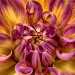 """""Brilliant Awakening"" Dahlia Flower"" by SoulfulPhotos"