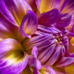 """""Sunlit Beauty"" Dahlia Flower"" by SoulfulPhotos"