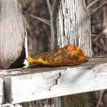 """Old Picket Fence"" by bonniebruno"