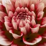 """""Cranberry Beauty"" Dahlia Flower"" by SoulfulPhotos"