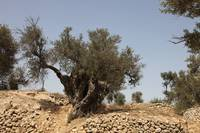 Ancient Olive Tree at Tel Hebron