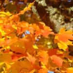 """Orange Autumn Leaves Fall Trees art prints nature"" by BasleeTroutman"