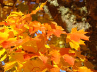 Orange Autumn Leaves Fall Trees art prints nature