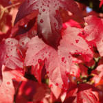 """WET RED Autumn Leaves Fall Trees art prints nature"" by BasleeTroutman"