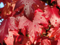 WET RED Autumn Leaves Fall Trees art prints nature
