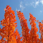 """Autumn Leaves Blue Sky Fall art tree leaves prints"" by BasleeTroutman"