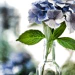 """Hydrangeas in a Bottle"" by bonniebruno"