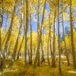 """Aspen Grove"" by markeloperphotography"