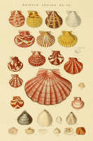 Vintage Seashell Diagram