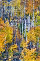Aspen Tree Magic Cottonwood Pass