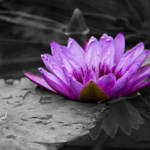 """Purple Water Lily 002 Black and White Background"" by ValeriesGallery"