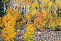 Colorful Autumn Forest In The Canyon of Cottonwood