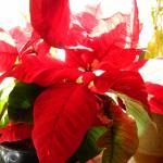 """Poinsettia In Light"" by MysticLightPhotography"