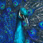 """Blue peacock"" by pietrastone"