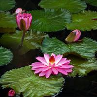 Hot Pink And Green Tropical Waterlilies