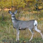 """""""Whitetail Deer in The Autumn Forest"""" by vpicks"""