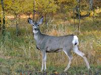Whitetail Deer in The Autumn Forest